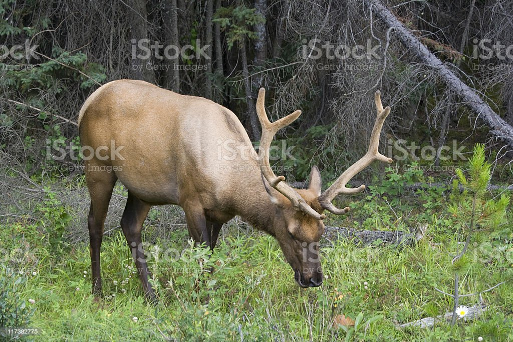 Bull elk on a meadow royalty-free stock photo