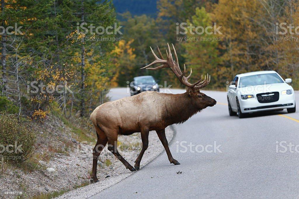 Bull Elk pass the highway  near Jasper, Alberta, Canada stock photo