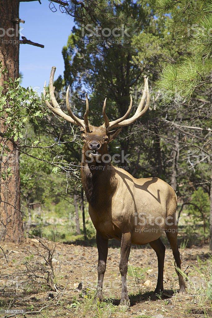 Bull Elk royalty-free stock photo