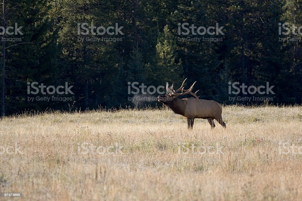 Bull Elk royalty-free stock photo