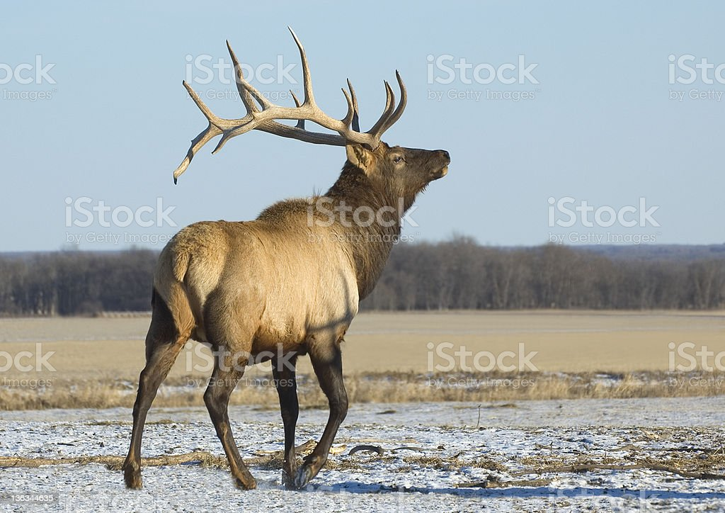 Bull Elk, Riding Mountain National Park, Manitoba royalty-free stock photo