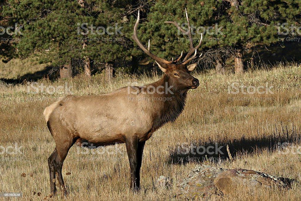 Bull Elk (Cervus elaphus) - Rocky Mountain National Park, Colorado stock photo