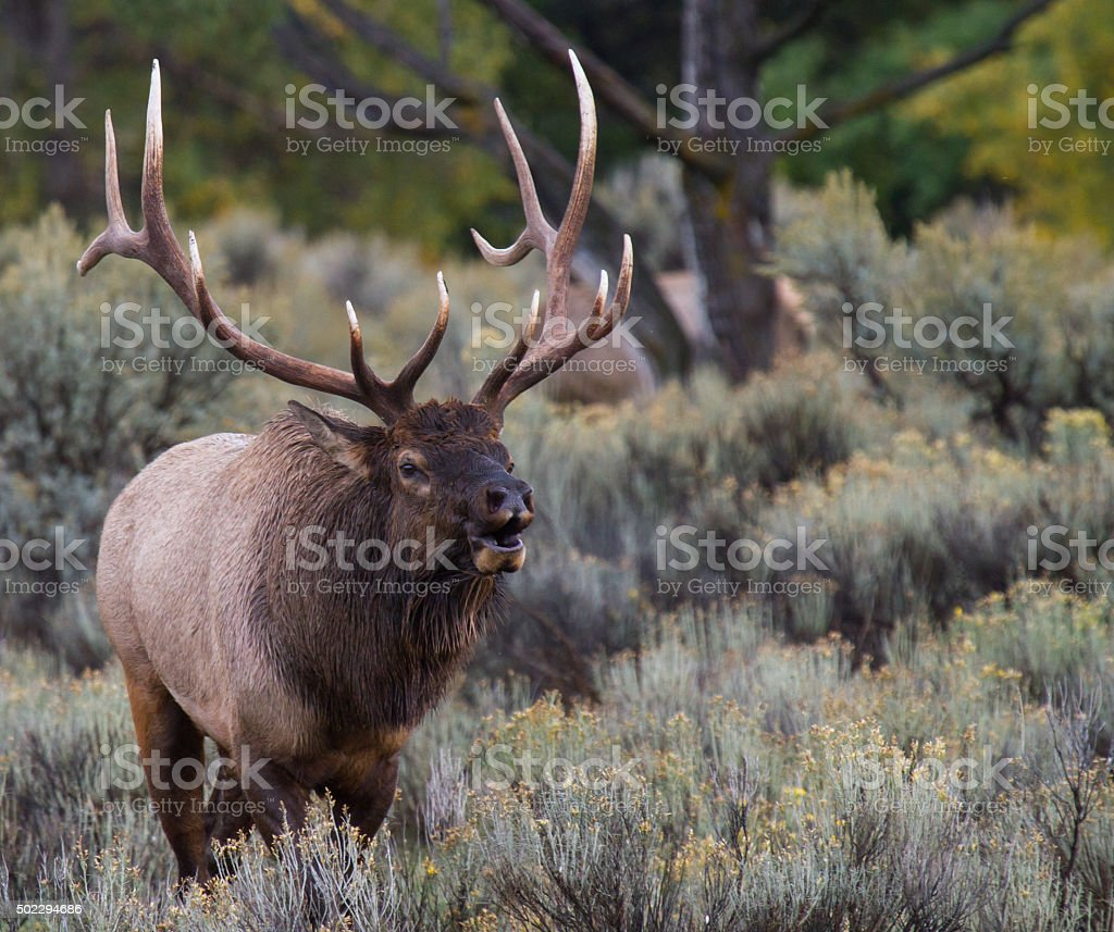bull elk rutting bugling and approaching stock photo