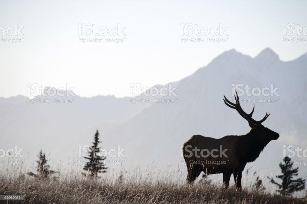 Bull elk sihouette in Banff stock photo