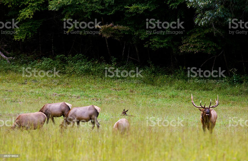 Bull Elk watches over his harem. stock photo