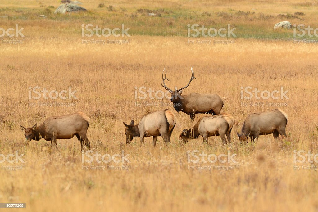 Bull elk watching over his herd of female cows. stock photo