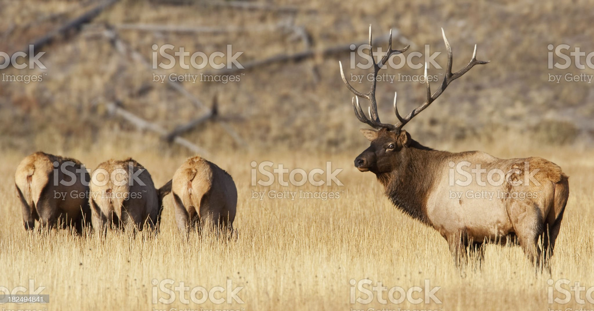 Bull Elk with his Harem royalty-free stock photo