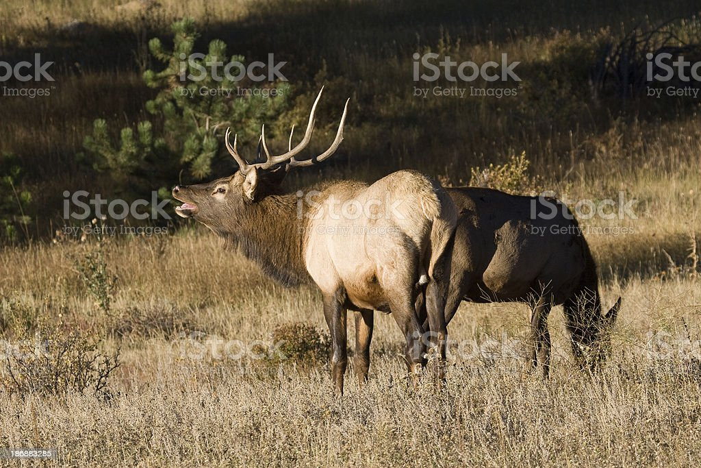 Bull Elk with Large Rack of Antlers and Doe Elk stock photo
