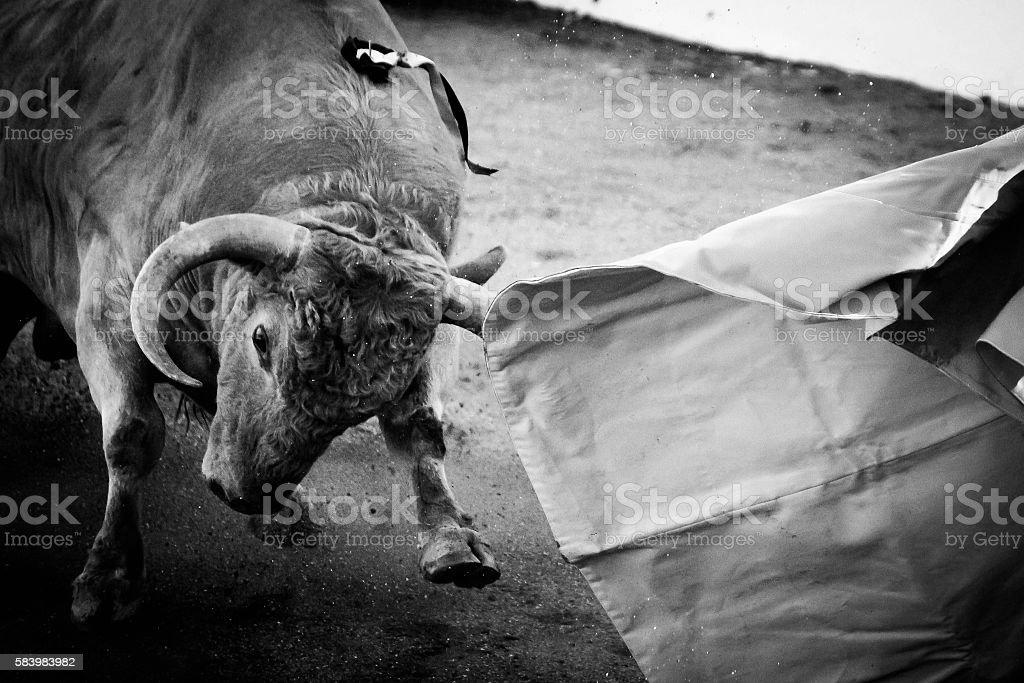 Bull Fight 1 stock photo