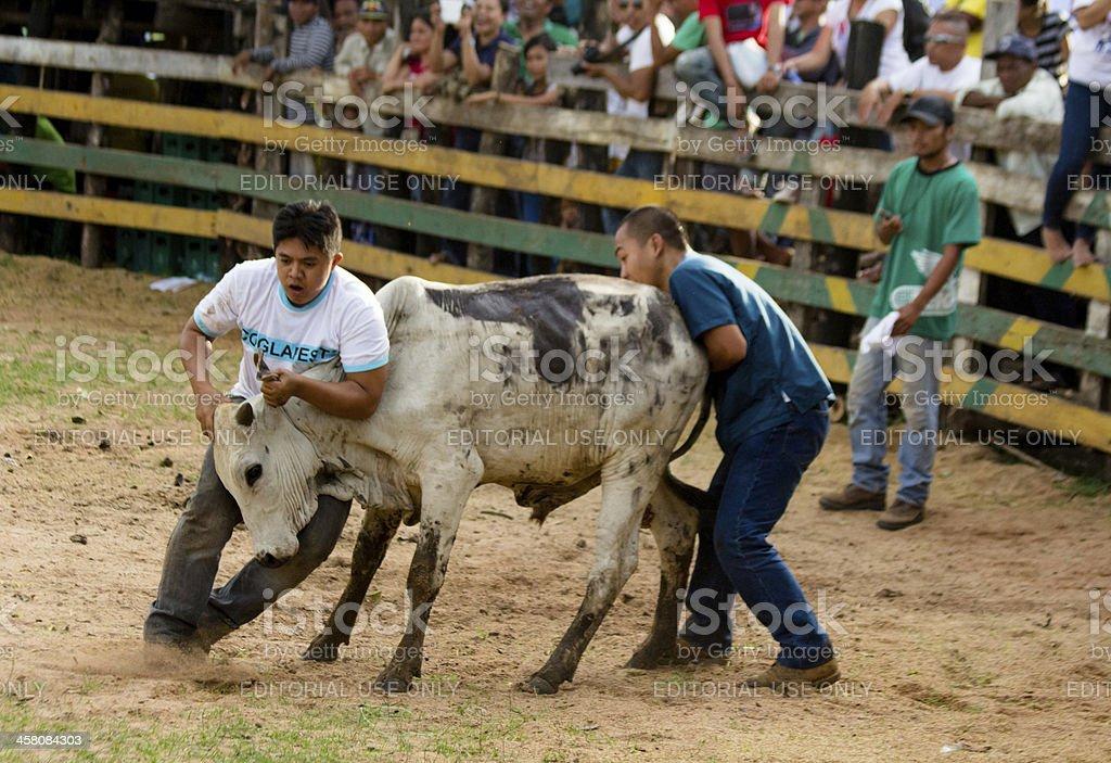 Bull fighting stock photo