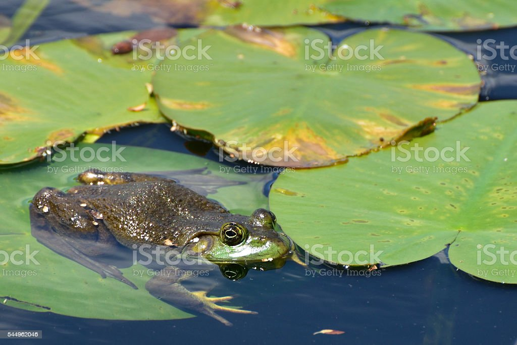 Bull Frog Sitting on a Lily Pad stock photo