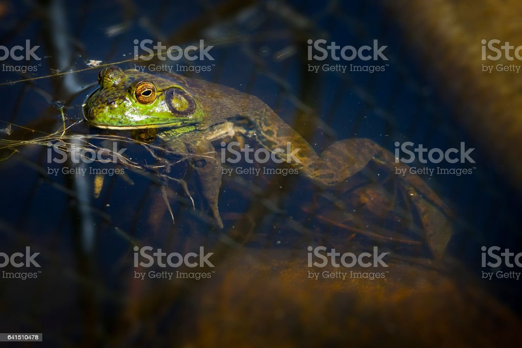 Bull Frog waiting on the surface for bugs stock photo