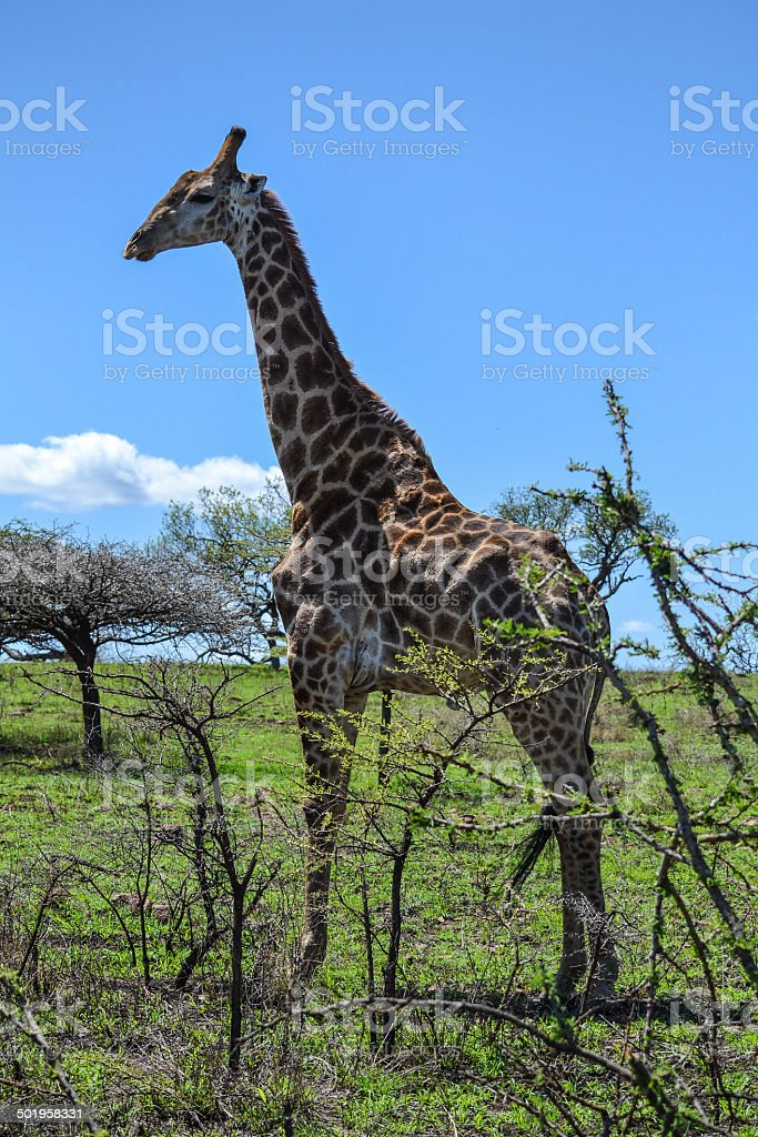 Bull giraffe stock photo