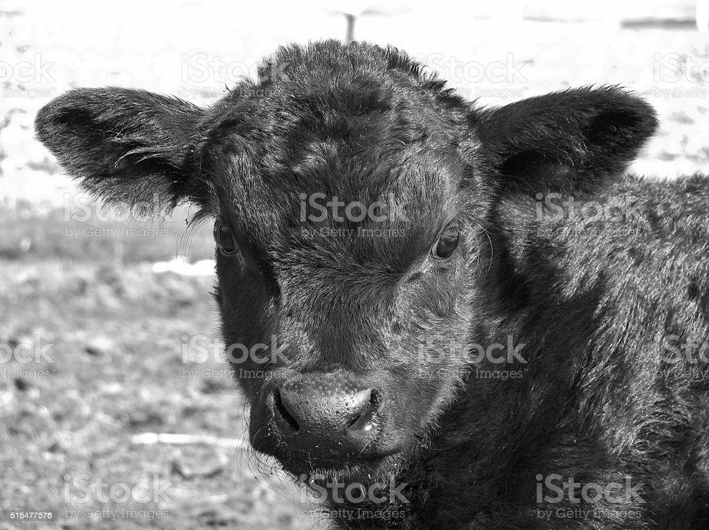 Bull Headed stock photo