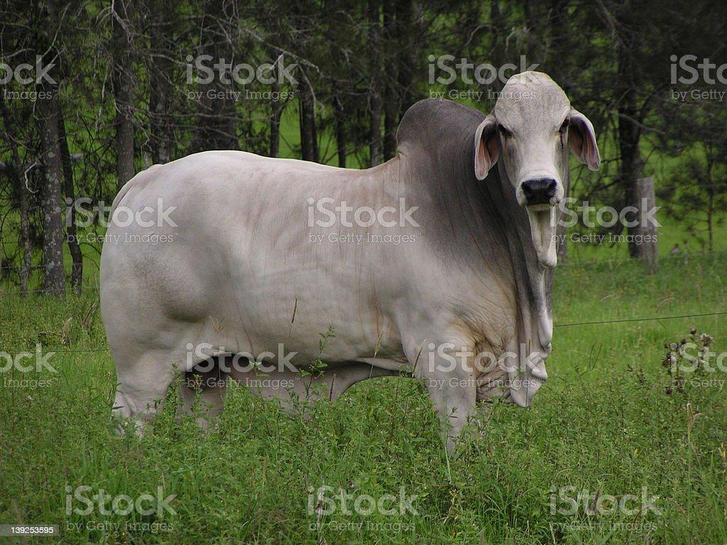 Bull in a Field stock photo