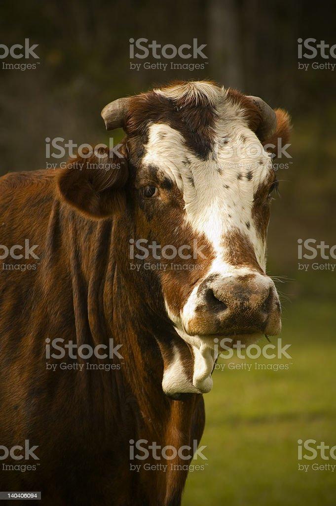 Toro en un campo foto de stock libre de derechos