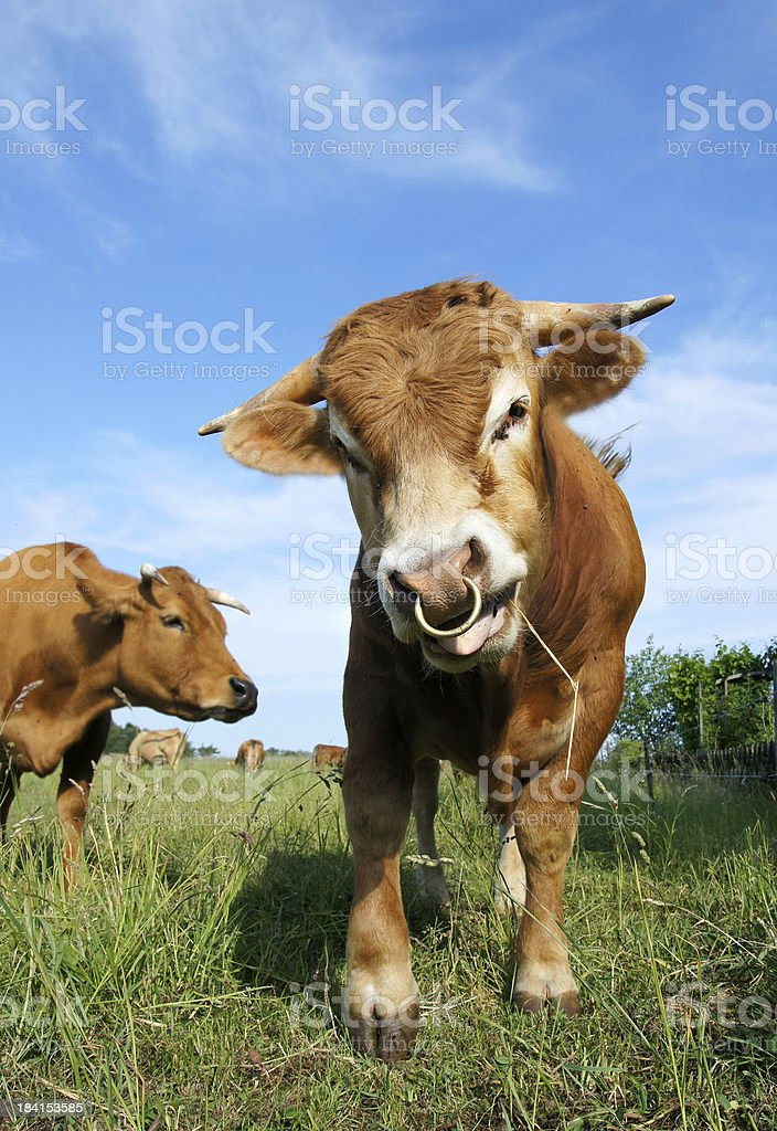 Bull in front of a blue sky stock photo