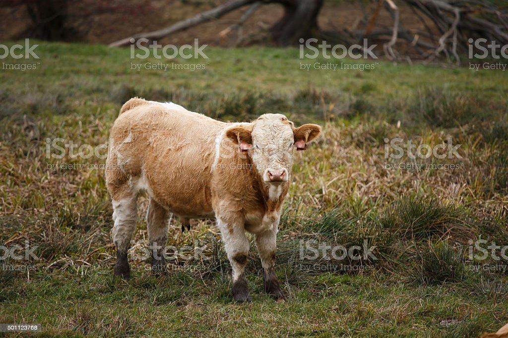 Bull in pasture, Czech Republic stock photo
