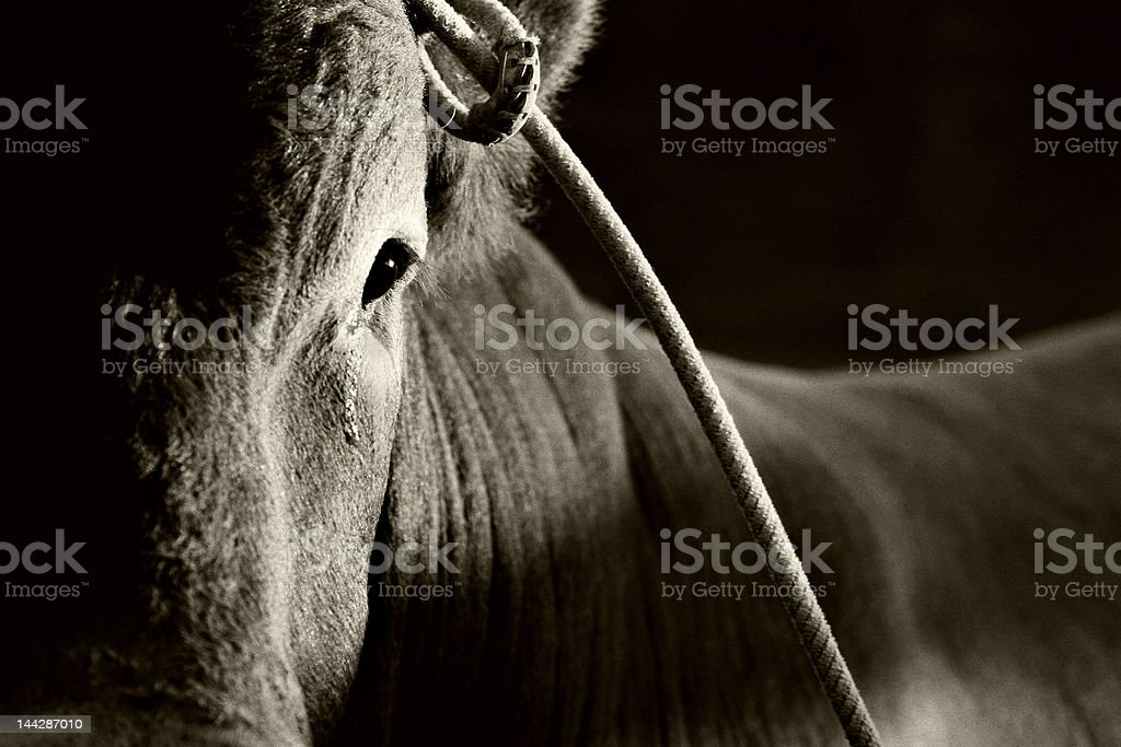 bull in rodeo stock photo