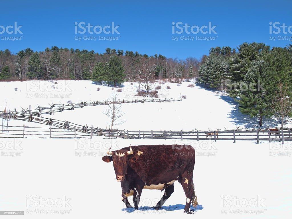bull in snow stock photo