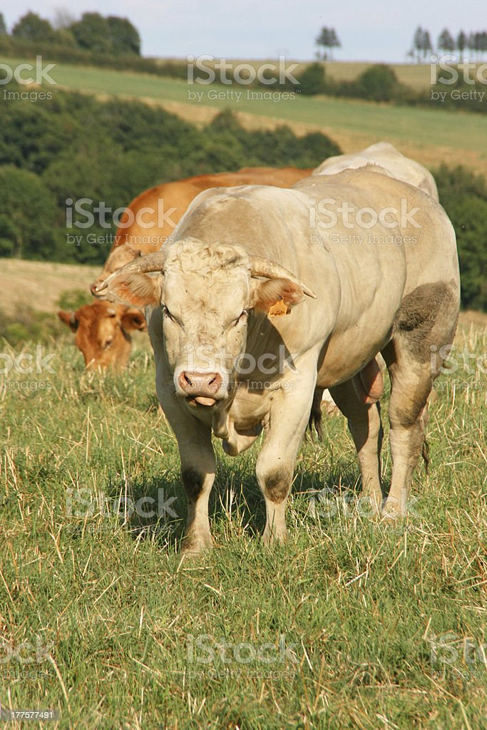 Bull in the meadow, Aveyron, france, europe royalty-free stock photo