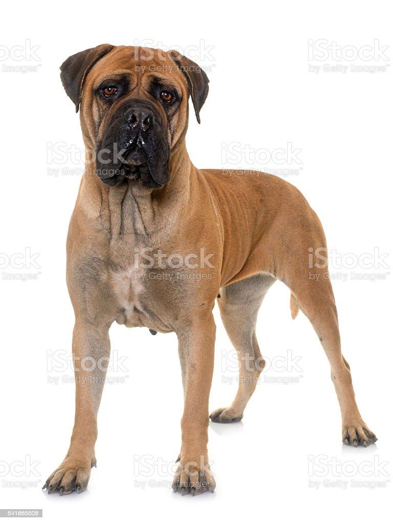 bull mastiff in studio stock photo