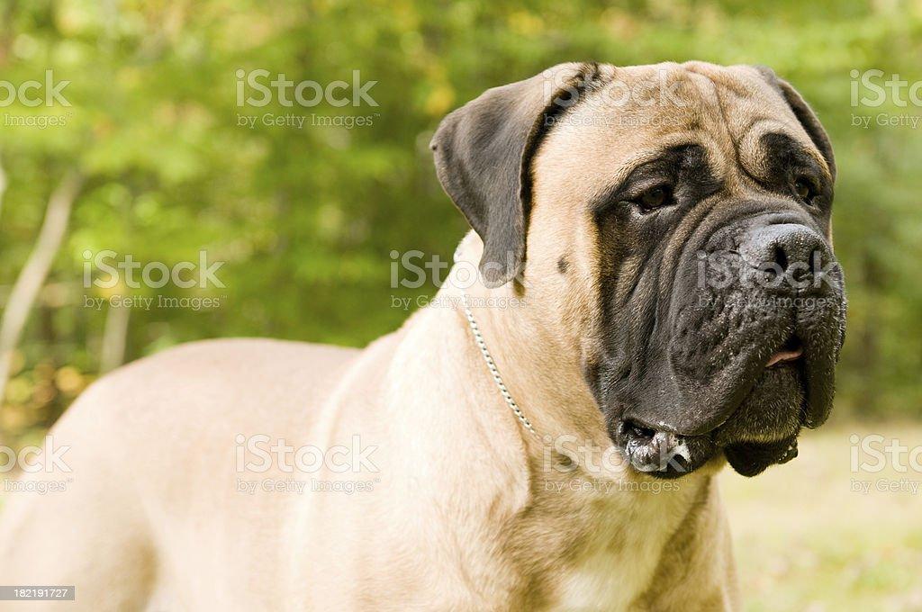 Bull Mastiff stock photo