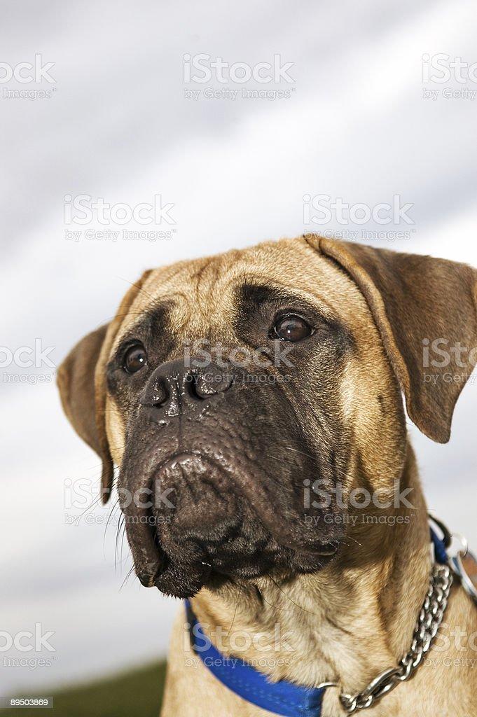 Bull Mastiff royalty-free stock photo
