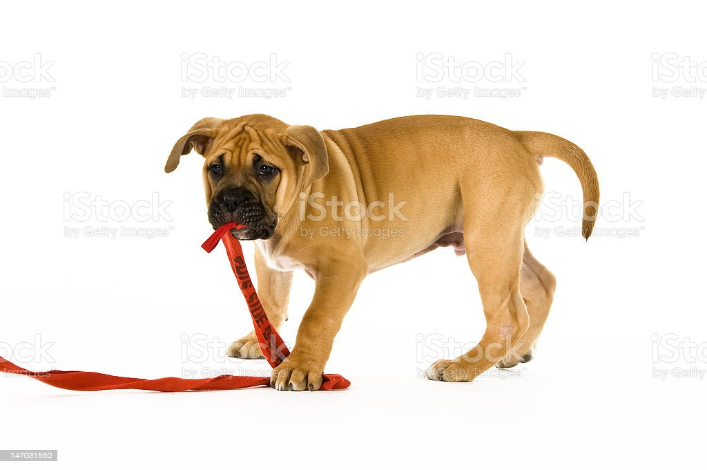 Bull Mastiff puppy isolated on a white background royalty-free stock photo