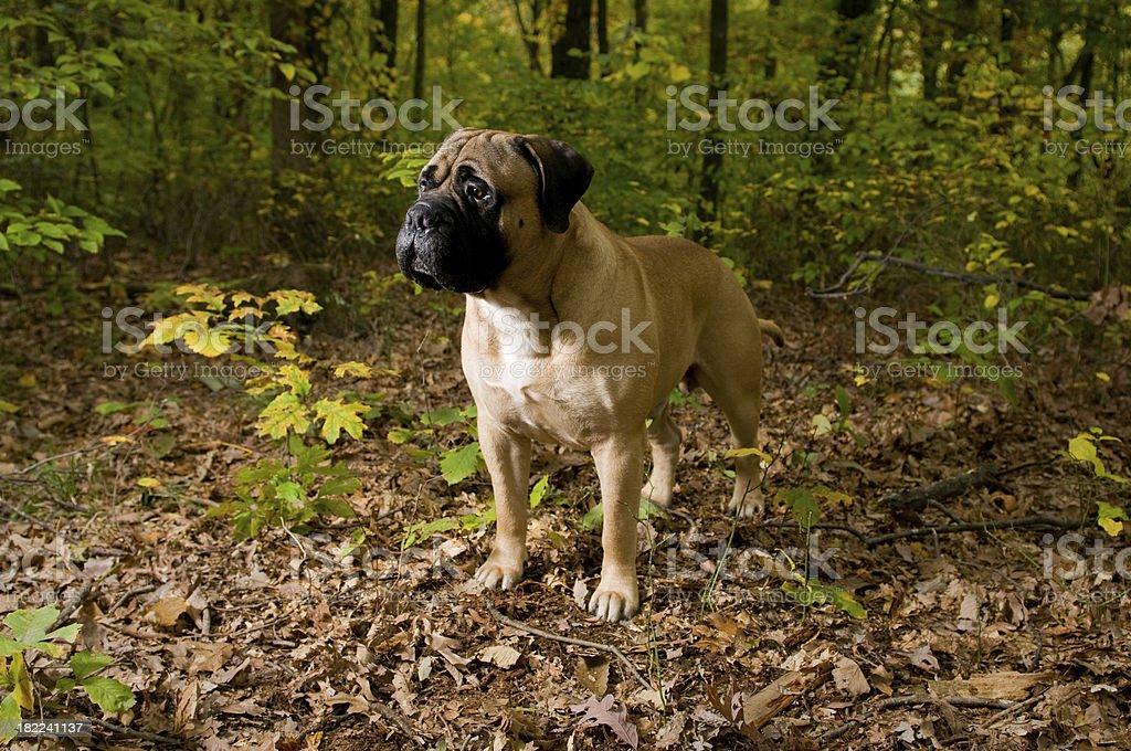 Bull Mastiff working in the Woods stock photo