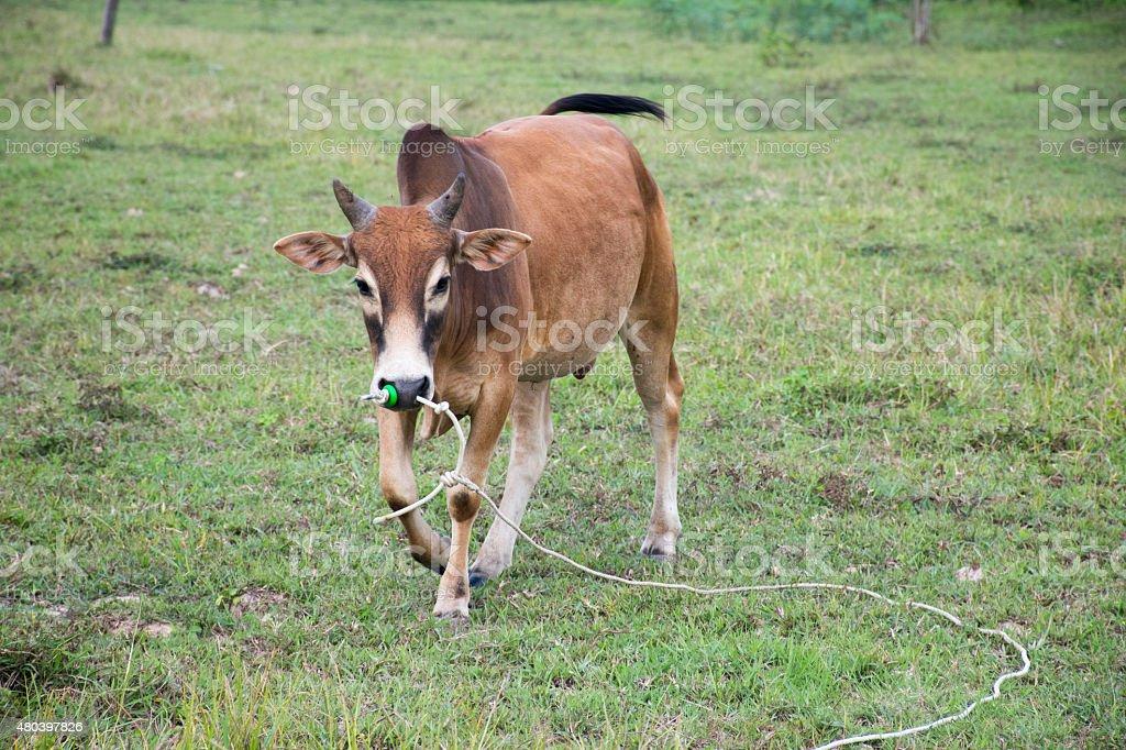 bull meadow action walk stock photo