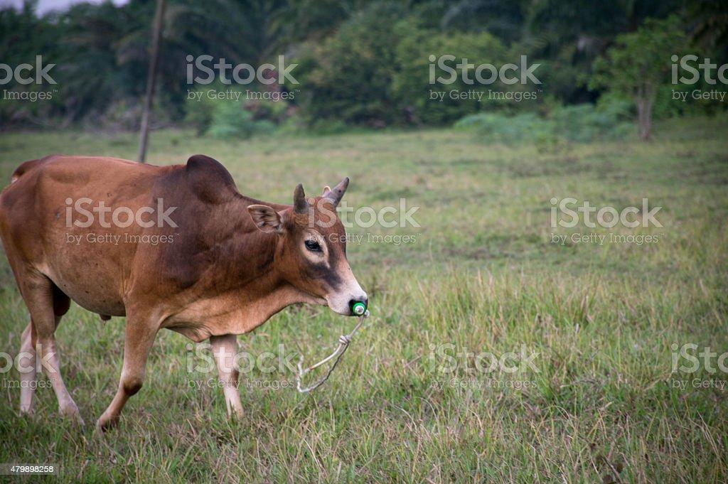 bull meadow stock photo
