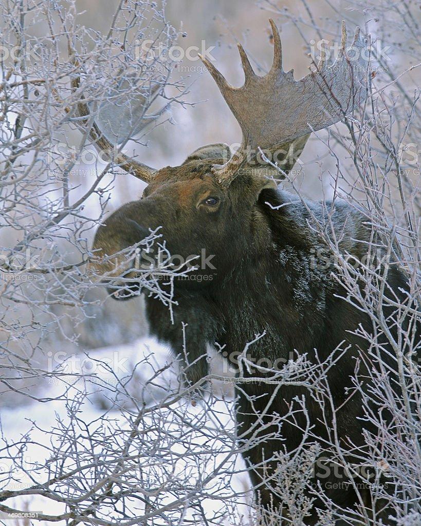 Bull Moose Along Shoreline of Palisades Reservoir, Idaho stock photo