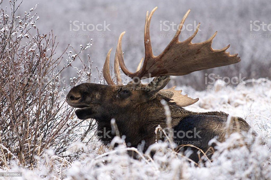 Bull Moose Calling stock photo