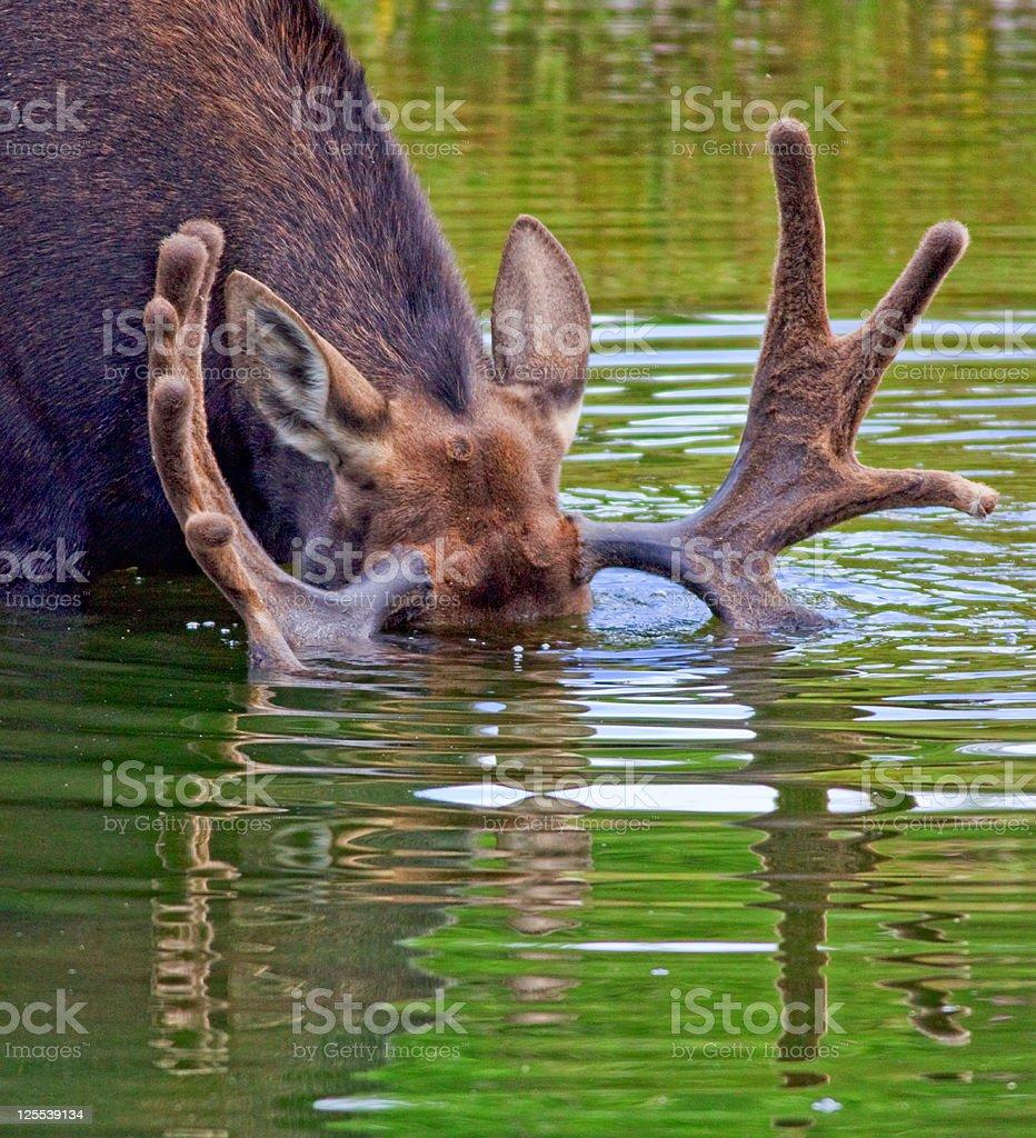 Bull Moose Feeding stock photo
