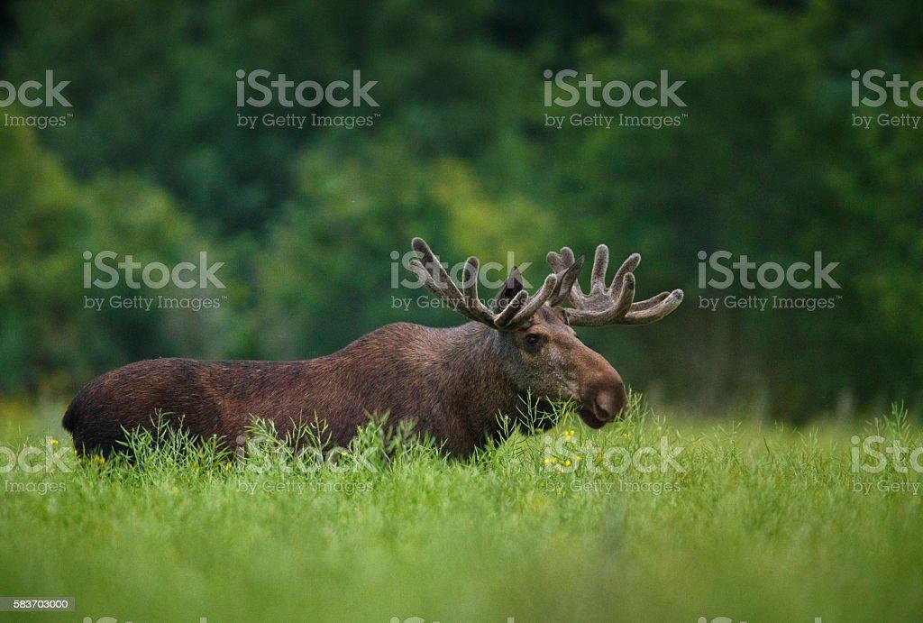 Bull moose in canola field stock photo