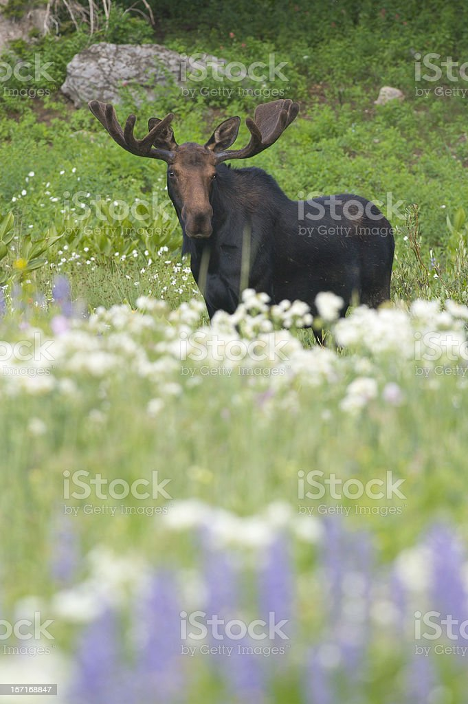 Bull Moose in Flowers royalty-free stock photo
