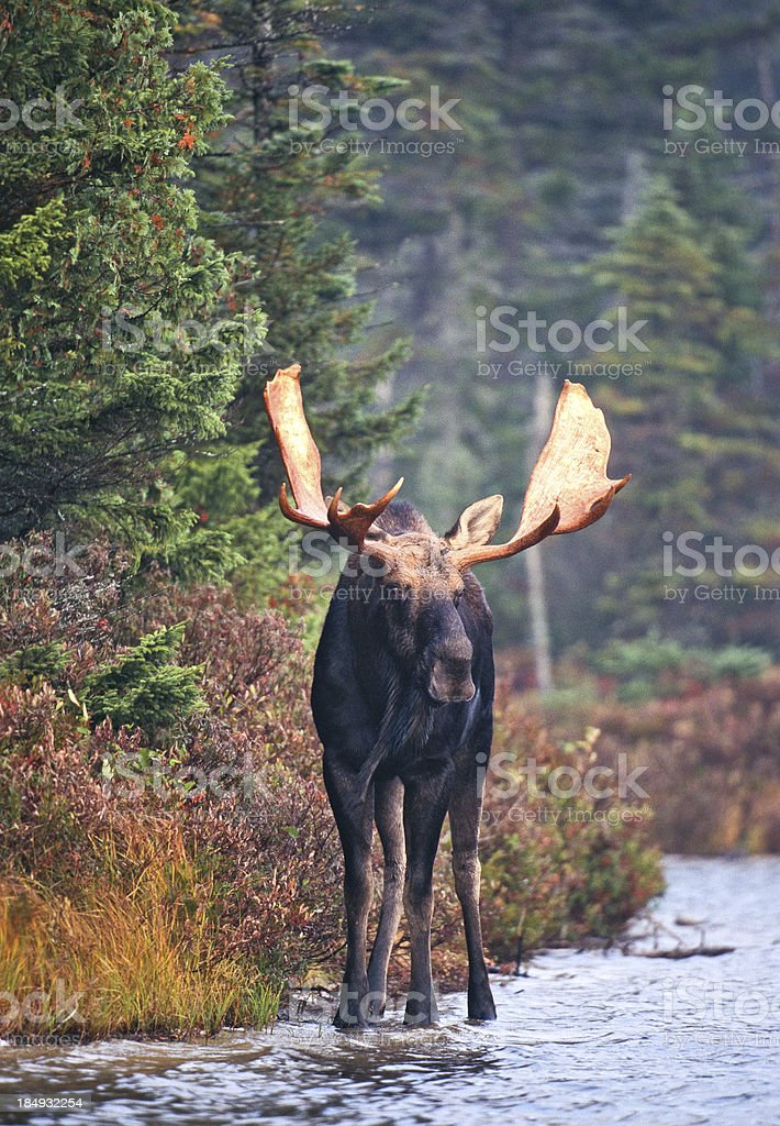 Bull Moose in Forest Pond stock photo