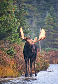 Bull Moose in Forest Pond