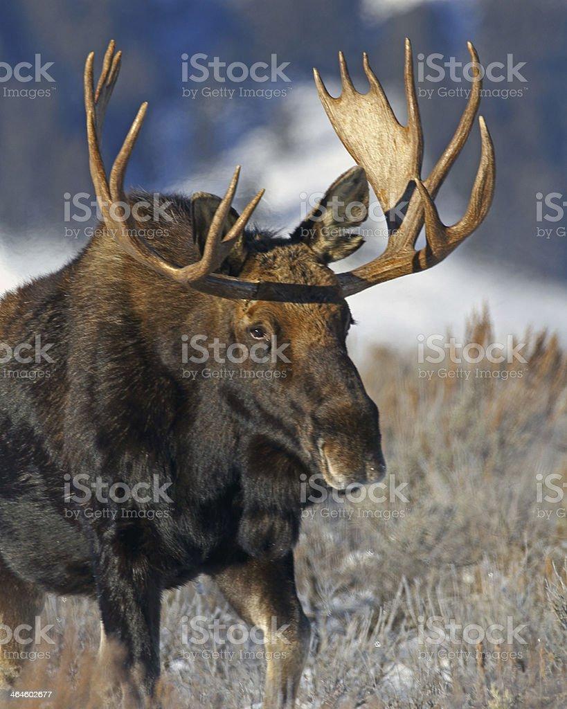 Bull Moose in Grand Teton National Park, Wyoming stock photo
