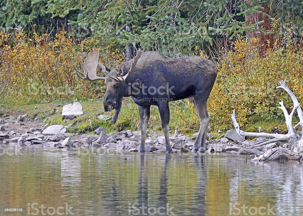 Bull Moose in Lake stock photo