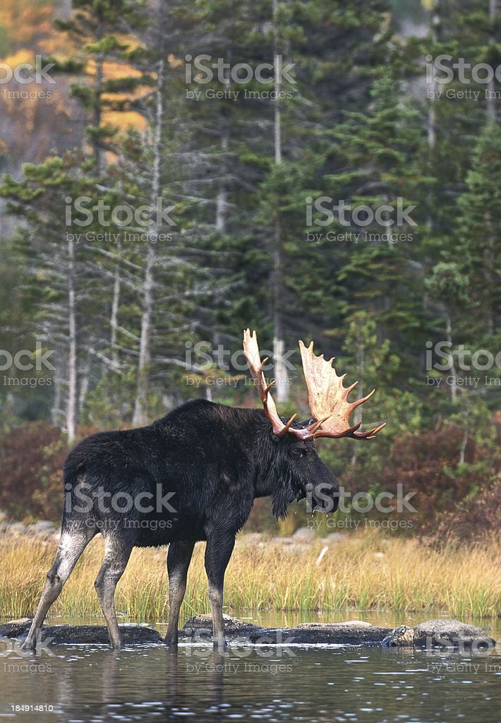 Bull Moose in Pond stock photo