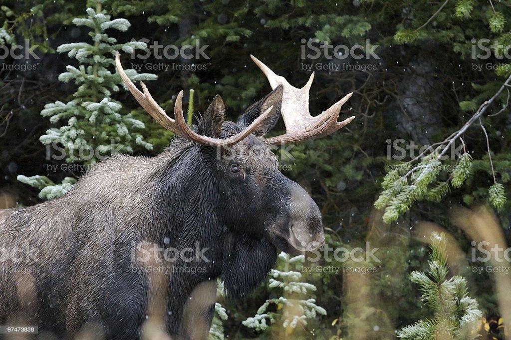 Bull Moose in Snow Fall royalty-free stock photo