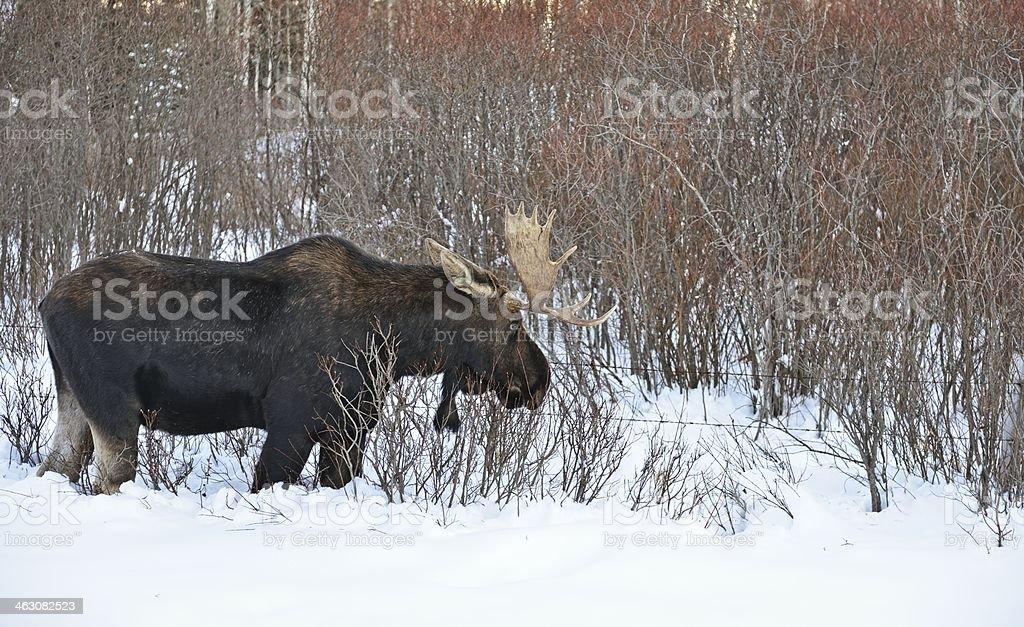 Bull moose in winter stock photo