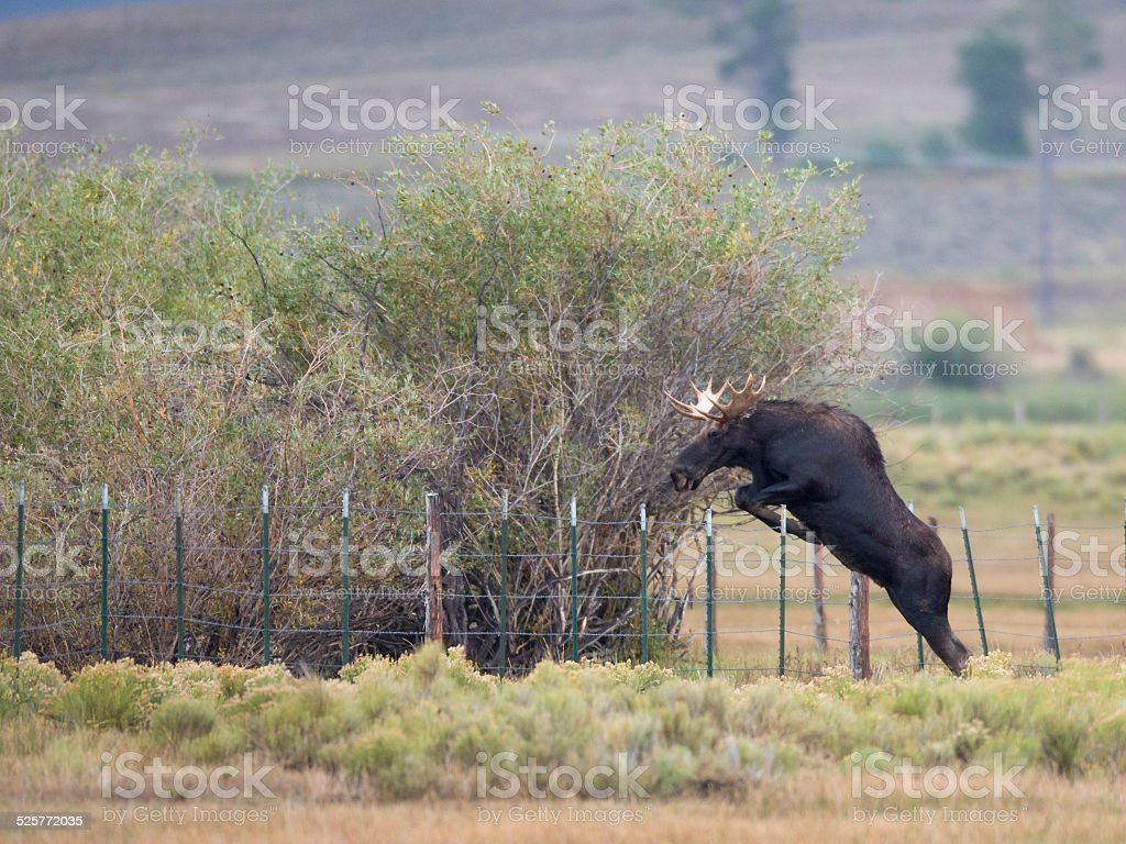 Bull Moose Jumps Over Fence stock photo