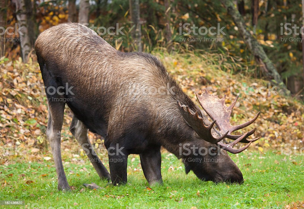 Bull Moose - Kneeing Down stock photo