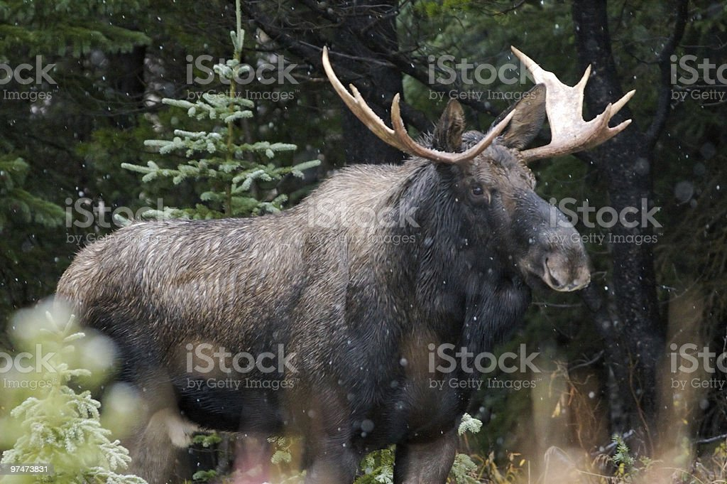 A Bull Moose Outside in the snow stock photo