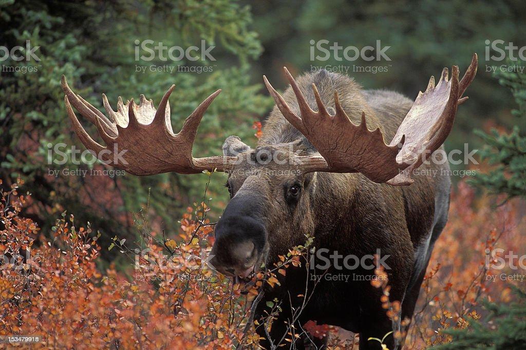 Bull Moose royalty-free stock photo