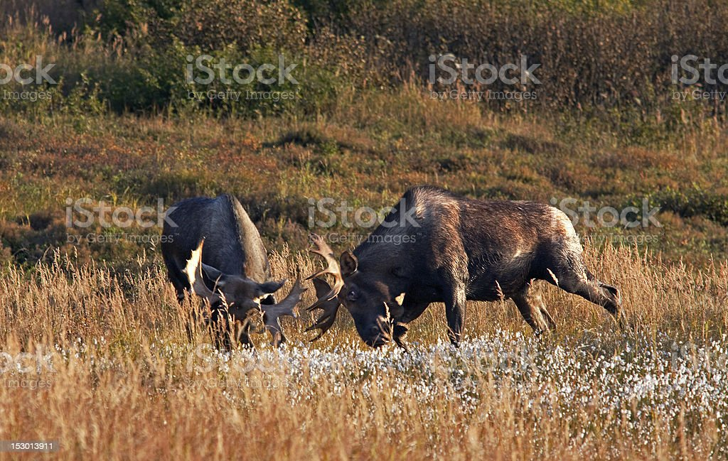 Bull Moose Sparring stock photo