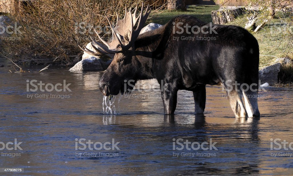 Bull Moose Standing in a River Eating royalty-free stock photo